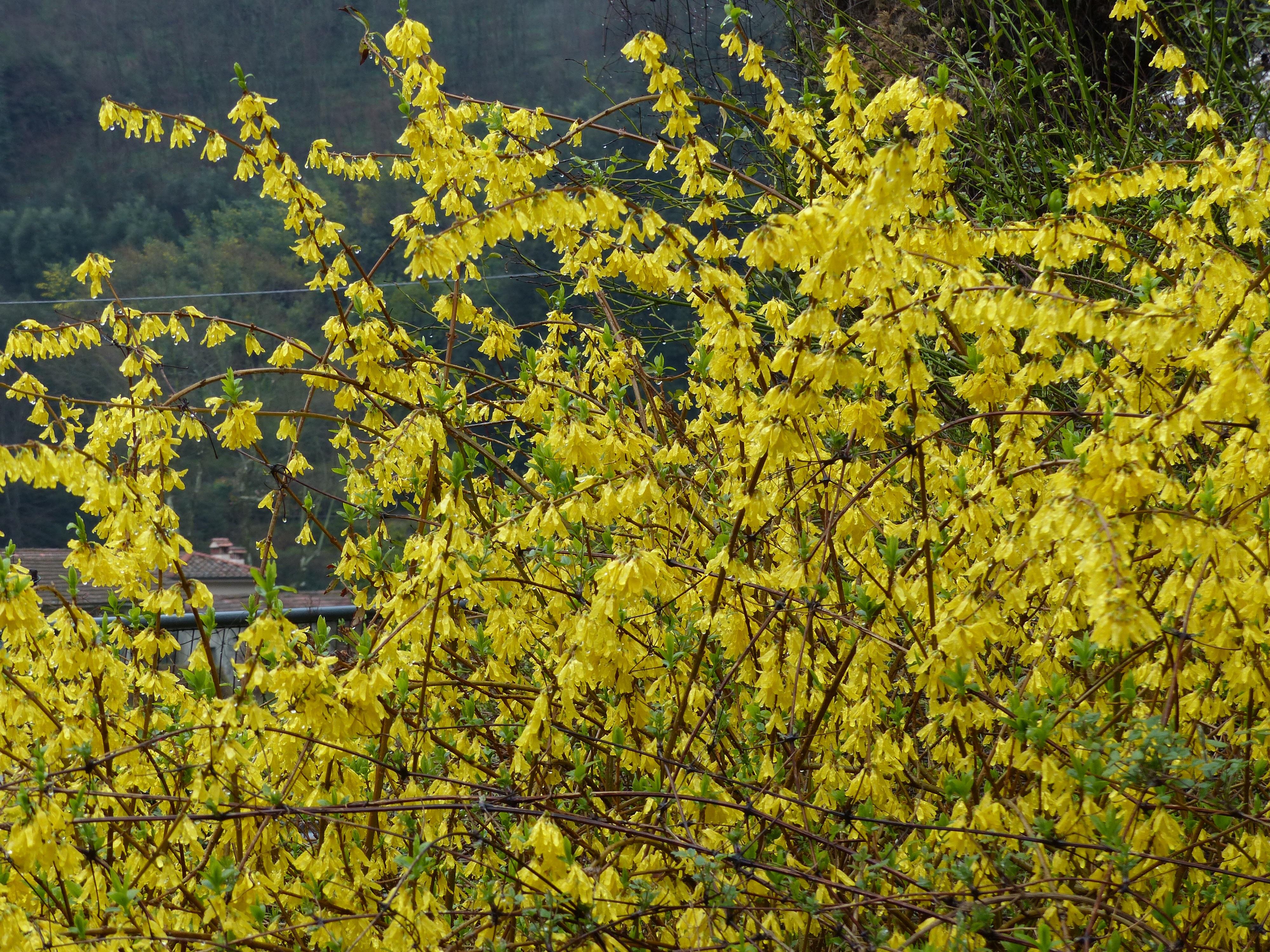 Yellow Flowers Bella Bagni Di Lucca