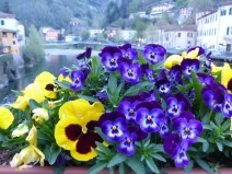 pansies on the bridge