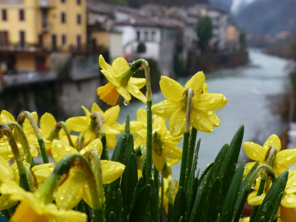 Daffodils at Ponte a Serraglio