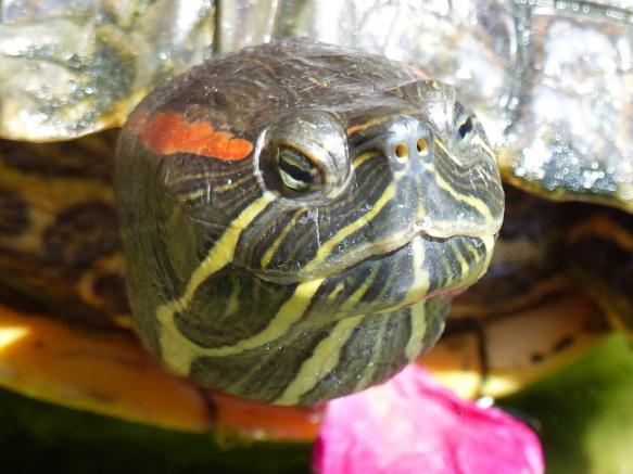 Sala tortoise