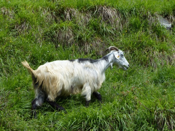 San Cassiano goats
