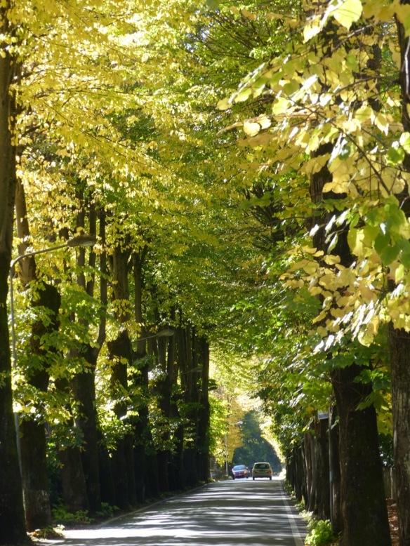 Tiglio trees