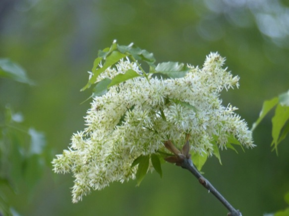Frassino trees